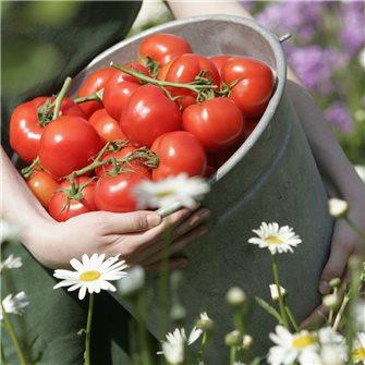 """""""Die Tomate"""